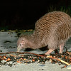 11001-03203 Sand hopper or namu mawhitiwhiti (Bellorchestia quoyana) being hunted by Stewart Island brown kiwi, or tokoeka (Apteryx australis lawryi) foraging at night on beach.