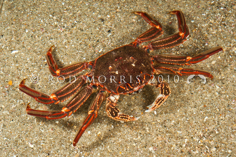 DSC_15312 Red rock crab, or papaka ura (Guinusia chabrus) female on sand, amongst tidal rocks at night. Goat Island Reserve, Leigh