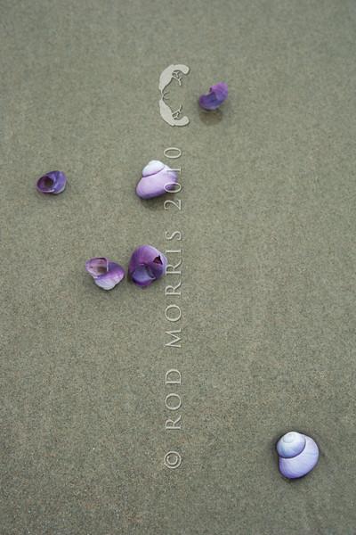 DSC_4987 Large violet snail, or kararua  (Janthina janthina) gull-damaged empty shells, washed ashore on beach in Northland.