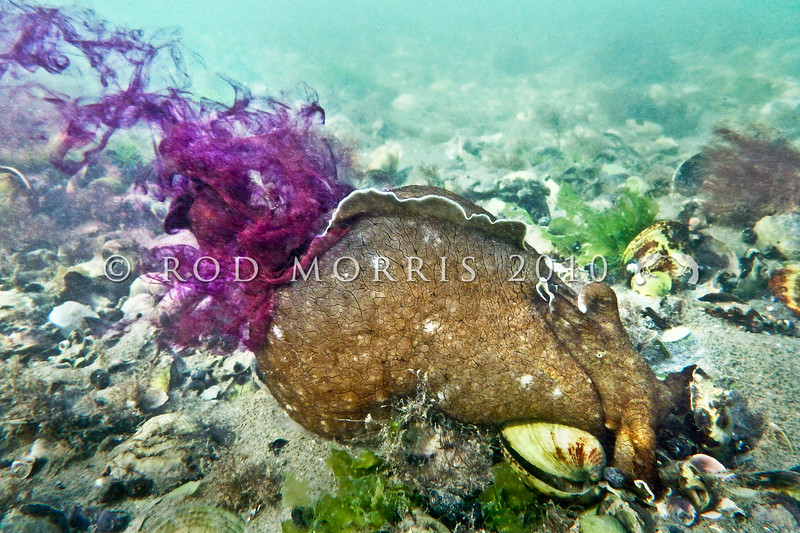 P_3220009 Brown sea hare (Aplysia keraudreni) ' inking' - producing a cloud of purple ink from its mantle cavity after being disturbed. The largest common sea hare in New Zealand. Frequently seen during the late summer and autumn, when it comes into the low tide zone to mate and lay eggs. Colour varies from pale brown to chocolate and may have white streaks and mottles. Warrington *