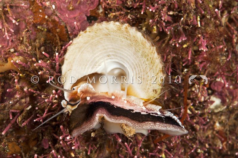DSC_1515 Green top shell (Coelotrochus viridis) ventral view of live animal on Corallina algae. Subtidal on semi-exposed to exposed rocky coasts. Quarantine Point, Otago Harbour *