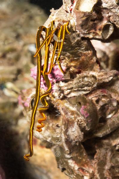 DSC_2419 Southern Acrocirrus (Acrocirrus trisectus) Aquarium Point, Otago Harbour
