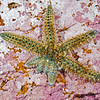 DSC_ 2468 Spiny sea star (Coscinasterias muricata) these starfish reproduce asexually by 'fission' where the central disc breaks into two pieces and each portion then regenerates the missing parts, in this case four new arms. Quarantine Point, Otago Peninsula