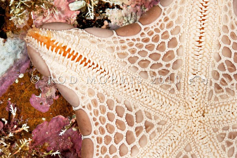DSC_3360  Jewel sea star (Pentagonaster pulchellus) detail of underside. Otago Harbour