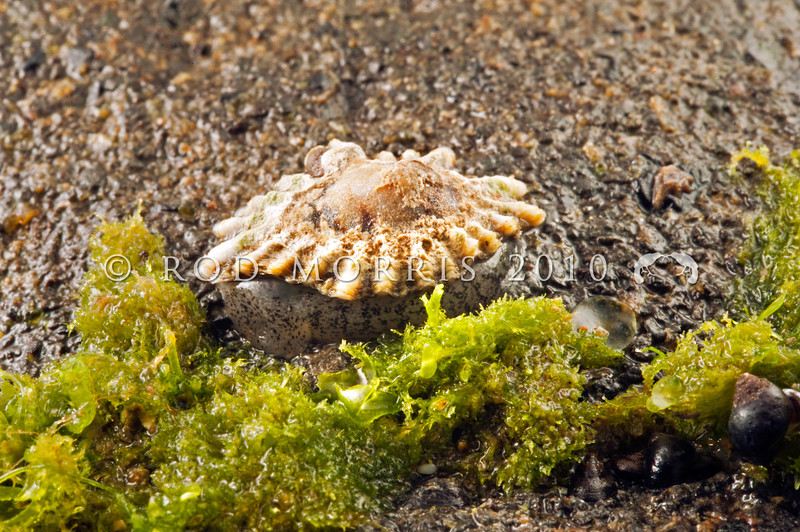 DSC_0697 Siphon limpet (Siphonaria australis) very similar to Patellioda limpets, but if you push Siphonaria at low tide they wiggle because as seen here they cannot pull their whole body inside the shell. Cat's Eye Point, Kakanui *