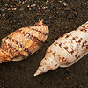 DSC_3312 Arabic volute or pupu rore (Alcithoe arabica) shell variable in shape and colour. Populations from sheltered northerly locations have a row of strong nodules on the shoulder (left). Others from exposed and southerly locations have almost no nodules at all (right).