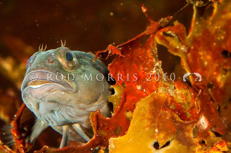 DSC_2242 Mottled triplefin, or kokopara (Forsterygion capito)  male in breeding colours. Otago Harbour *
