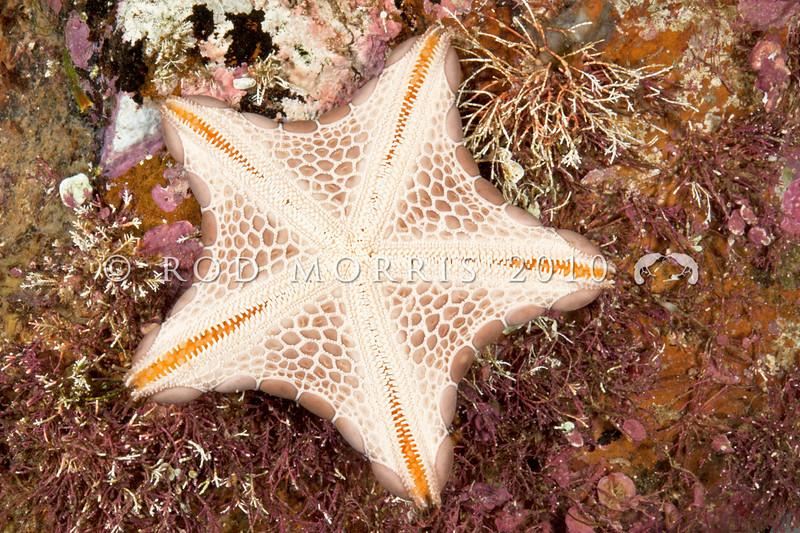 DSC_3358  Jewel sea star (Pentagonaster pulchellus) underside. Otago Harbour