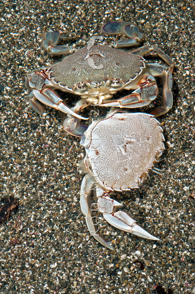 DSC_5356 Paddle, or Swimming crab (Ovalipes catharus) feeding on a moulted, and discarded exoskeleton. Common on exposed sandy beaches throughout New Zealand and distinguished by the broad paddle-shaped hind legs which are equally suitable for swimming, and burrowing in soft sand. Goat Island, Leigh Marine Reserve
