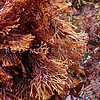 P_4090148 Red seaweed (Melanthalia abscissa) exposed fan-shaped fronds at low tide, with rounded to blunt tips. Low intertidal on rock, usually adjacent to sand, on open coasts. Colour usually a rich, dark red to red-brown, unless exposed to bright sunlight. Goat Island Marine Reserve, Leigh *
