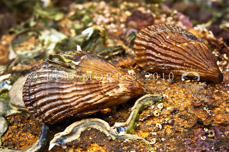 DSC_2944 Ribbed mussel, or Pukanikani (Aulacomya maoriana) juveniles on underside of rock at low tide. Pudding Island, Otago Harbour *
