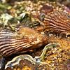 DSC_2944 Ribbed mussel, or Pukanikani (Aulacomya maoriana) juveniles on underside of rock at low tide. Pudding Island, Otago Harbour *
