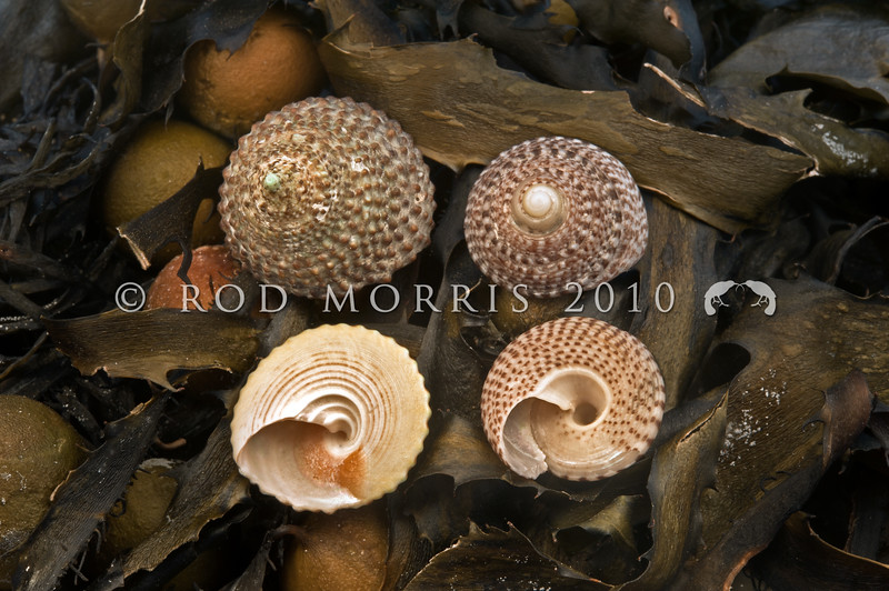 DSC_3270  Green top shells (Coelotrochus viridis) from Oraka Beach, Mahia Peninsula, on left, and Brown top shells (Coelotrochus tiaratus) from Lyall Bay, Wellington, on the right. Dorsal and ventral views of both shells on seaweed. Note differences in the false umbilicus on each species.  Found subtidally on semi-exposed to exposed rocky coasts *