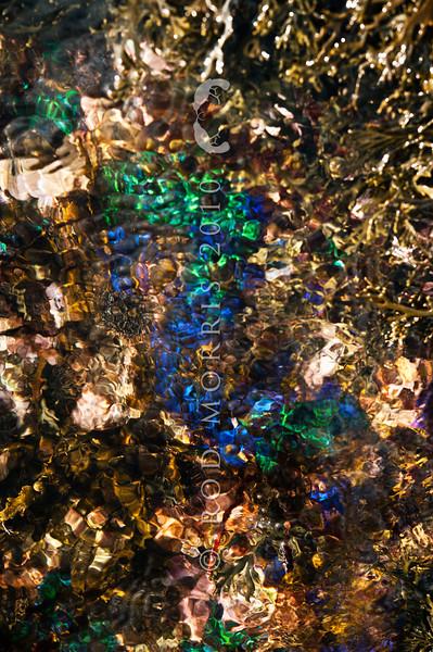 DSC_3149 Iridescent blue seaweed (Champia laingii) a low intertidal to subtidal red algae, which often occurs around the margins of shallow pools. Colour is a brilliant blue or green iridescence when fresh. Maitai Bay, Karikari Peninsula *