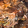 DSC_2925 Hutton's Octopus (Octopus huttoni) female caught out at low tide. The small fist-sized Hutton's octopus is sometimes found in rock pools, as are juvenile Common octopus, however as common octopus grow, they move into deeper water further out on the reef. Pudding Island, Otago Harbour *