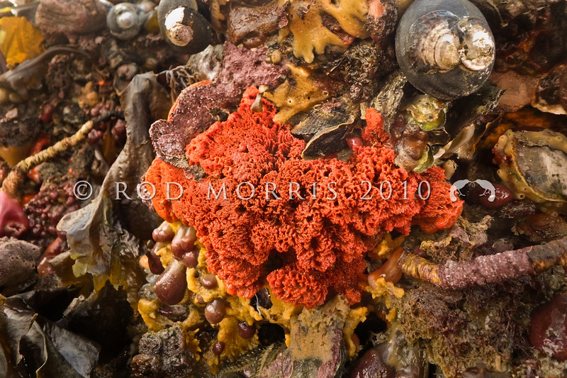 P_10100781 Orange encrusting sponge (Crella incrustans) exposed on rock ledge at low tide. Extremely common, found all around New Zealand in a range of sheltered and exposed habitats. Also on shallow coastal rocky reefs, and deeper continental shelf seamounts and banks. Aquarium Point, Otago Harbour *