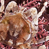 DSC_6700 Slender pill box crab (Halicarcinus cookii) detail of carapace. Found in the mid to low intertidal often amongst coralline algae, or among brown seaweeds. Moeraki
