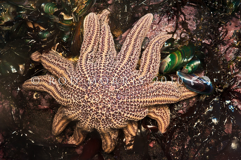 DSC_9052 Reef star, or patakaroa (Stichaster australis) feeding on mussel at low tide. Commonly found on surf beaten coasts from North Cape to Milford Sound. Occurring from low tide to below the water this star commonly feeds around mussel beds. Maori Bay, Muriwai *