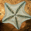 DSC_8186 Cushion sea star (Patiriella regularis) found from mid tide to 30 m deep. Colour variable. Otago Peninsula