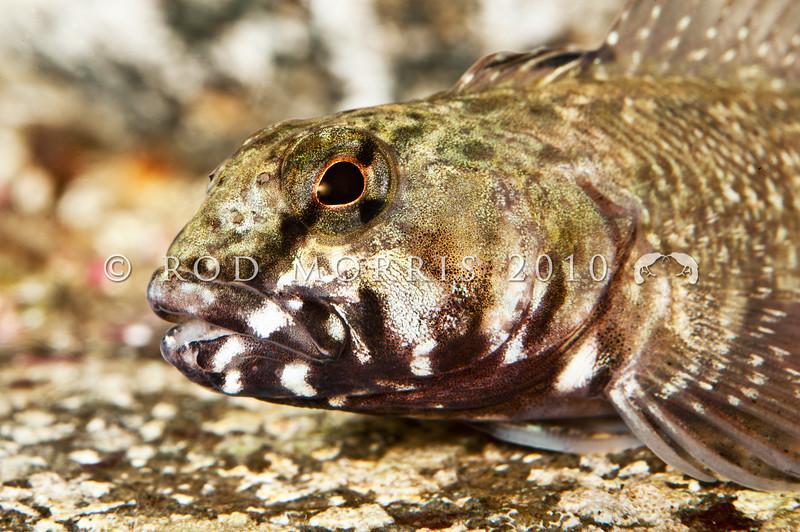 DSC_8820 Twister (Bellapiscis medius) head of large male. Jones Bay, Tawharanui *