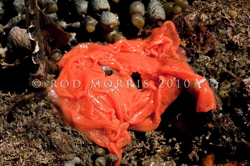DSC_7598 Brown sea slug (Alloiodoris lanuginata) bright orange eggmass. Common in intertidal zone. Body feels like sandpaper. Colour variable from pale cream brown, dull reddish brown to ashen grey and rarely dark plum red. Otago Harbour *