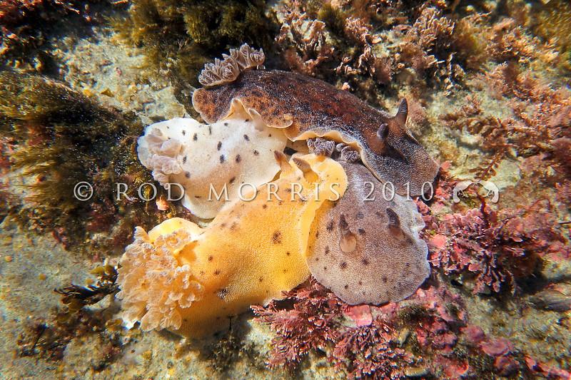 P_2140129 Brown sea slugs (Alloiodoris lanuginata) colour variation. Predators on sea squirts. Common in intertidal zone. Body feels like sandpaper. Colour variable from pale cream brown, dull reddish brown to ashen grey and rarely dark plum red. Brighton Beach *