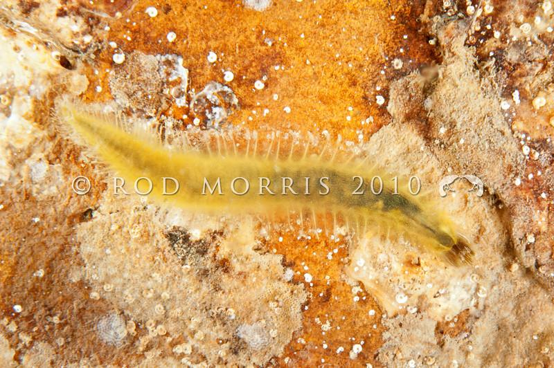 DSC_4588 Bristle cage worm (Flabelligera bicolor) in bag of jelly mucus, on underside of rock. Plimmerton, Kapiti Coast *