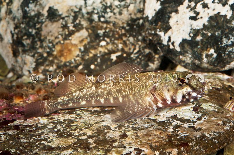 DSC_8889 Twister (Bellapiscis medius) large adult male. Jones Bay, Tawharanui *