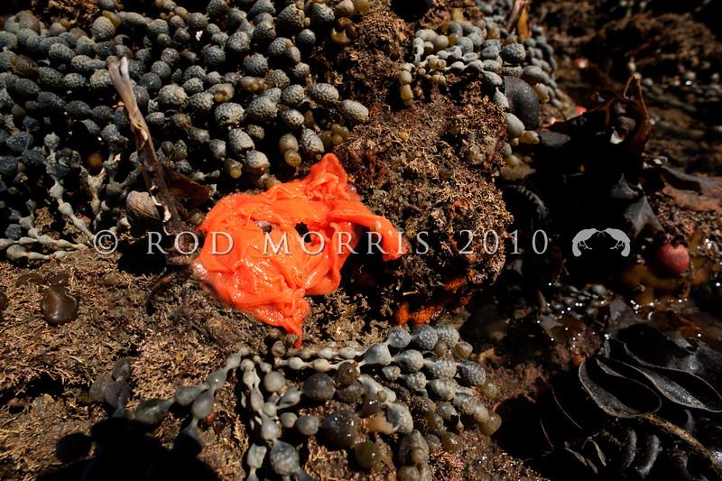 DSC_7597 Brown sea slug (Alloiodoris lanuginata) bright orange eggmass amongst neptunes necklace. Common in intertidal zone. Body feels like sandpaper. Colour variable from pale cream brown, dull reddish brown to ashen grey and rarely dark plum red. Otago Harbour