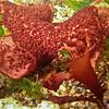 PC_045 Turkish bath towel seaweed (Sarcothalia lanceata) underwater in tidal pool. The Spit, Aramoana *
