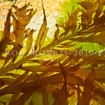 PC_10138 Brown seaweed (Desmarestia ligulata) underwater in tidal pool. Large (to 1m), plants with a flattened main axis and pinnately arranged side branches lying on one plane. Plants relea ...