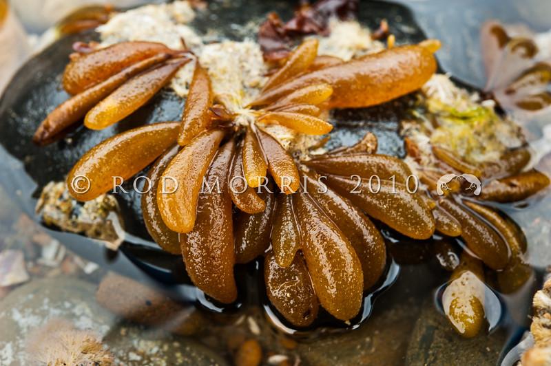 DSC_0327 Brown sea sac (Adenocystis utricularis) found on intertidal rock on open coasts. All Day Bay, Kakanui *