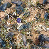 11006-01012 Blue-bottle jellyfish (Physalia physalis) flotsam including characteristic 'floats', amongst Rams horn squid shells, and a Violet snail shell. Lord Howe Island