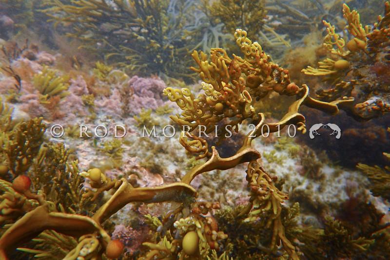 PB_280058 Zigzag seaweed (Cystophora scalaris) has a flat stipe with distinctive zig-zag, and alternate side branches. Occurs lower on shore than C. torulosa, but higher than C. retroflexa. Brighton Beach.