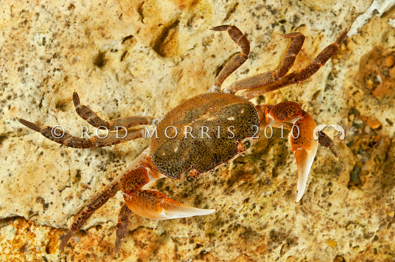 DSC_2253  Smooth shore crab (Cyclograpsus lavauxi) male. Found on the rocky shore from high tide level down to about mid tide level. Quarantine Point, Otago Harbour *