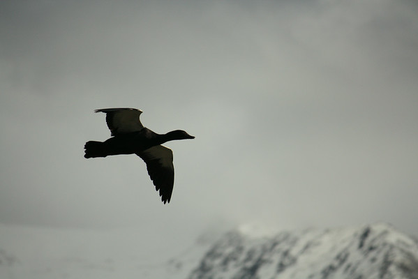 New Zealand's Paradise Shelduck flying in the Southern Alps
