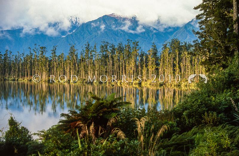 11009-06001  Kahikatea (Dacrycarpus dacrydiodes) forest on lake shore. Lake Wahapo, Westland *