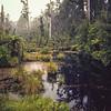 11009-06016  Kahikatea (Dacrycarpus dacrydiodes) swamp forest. South Westland *