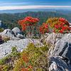 DSC_8904 A photographer captures Southern rata in full bloom on the Denniston Plateau escarpment edge *
