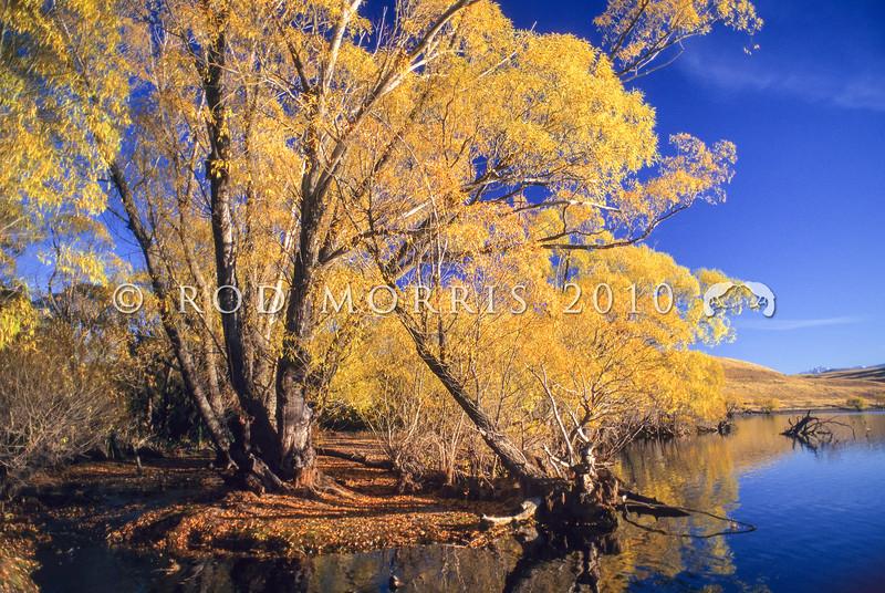 11011-00205 Mackenzie Country scenery. Crack willow turning yellow in autumn at Lake Alexandrina *