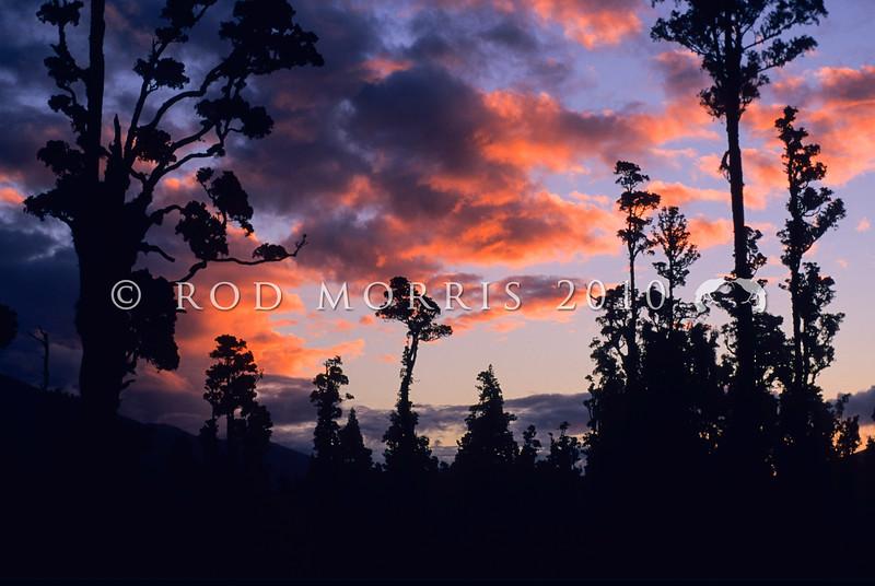 11009-06113 West Coast scenery. Kahikatea forest near Haast at sunset *