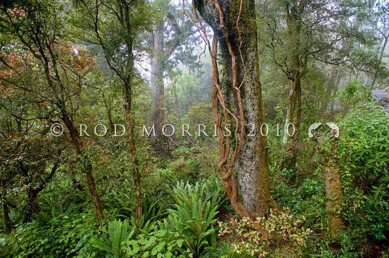 DSC_8647 Orokonui Eco sanctuary. Cloud forest interior with rimu trunk, blechnum fern and rata vines *