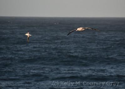 2 Wandering Albatrosses 1