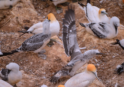 9 gannet stretching wings 1