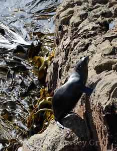 NZ fur seal up pre 1