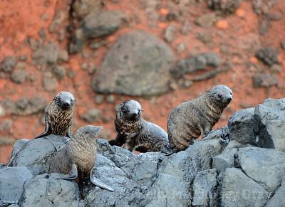NZ seal pups 4