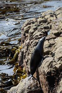 NZ fur seal up1