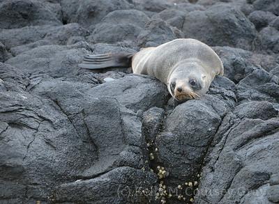 NZ fur seal 2 (2)