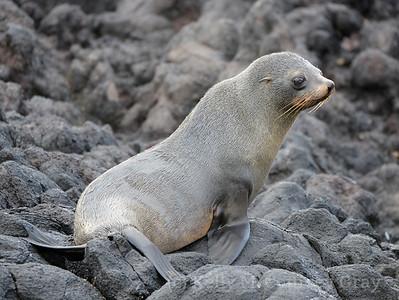 NZ fur seal 3