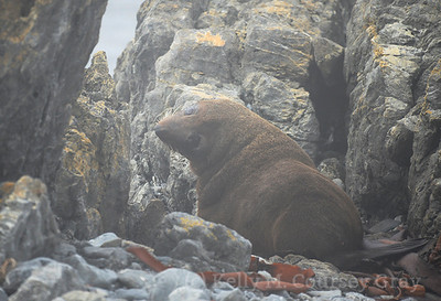 nzz fur seal 1